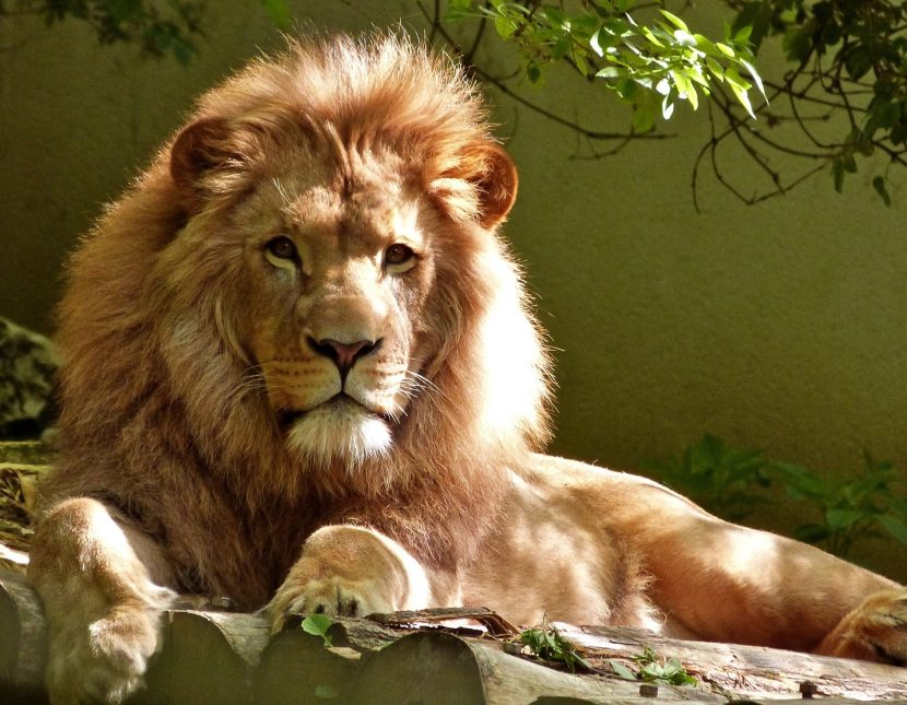 Singapore Airlines refuză să mai transporte oase de leu din Africa de Sud