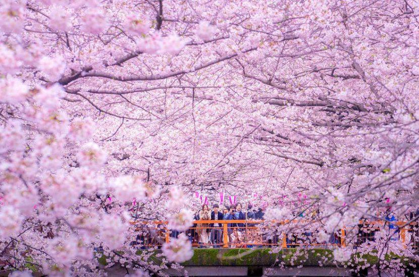 În Japonia cireșii vor înflori mai repede anul acesta. Vedeți prognoza experților niponi