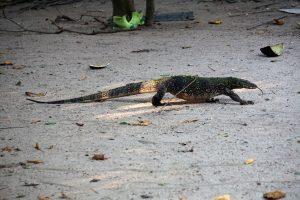 Water monitor lizard, Surin Islands