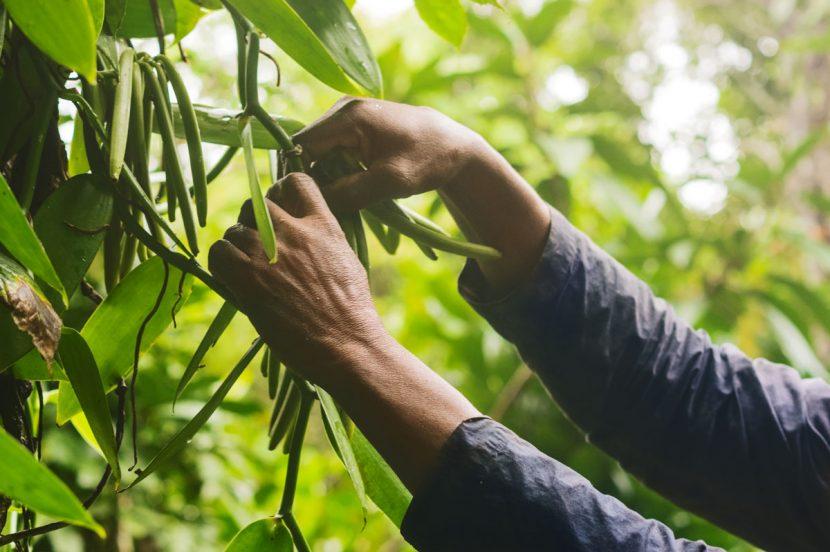 Madagascar, patria adoptivă a vaniliei | Lucruri puțin știute despre una dintre cele mai scumpe mirodenii