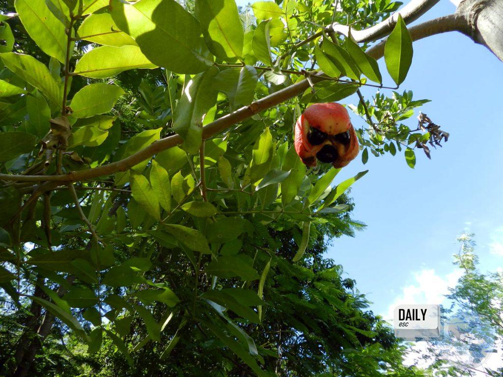 Akee fruit, Negril, Jamaica